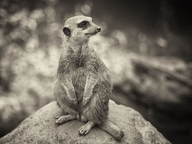 meerkat-portrait